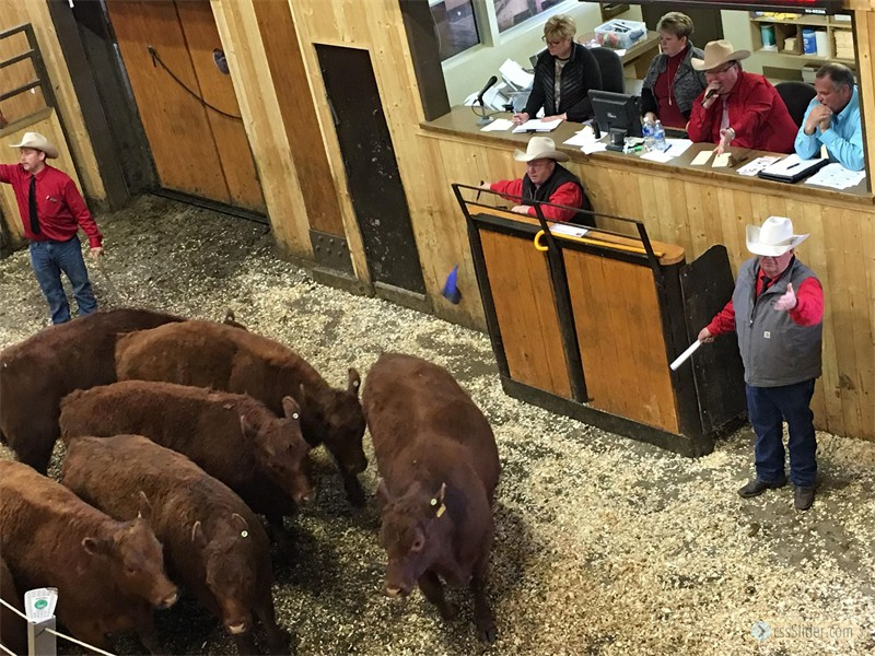 2018 Sale of Commercial Heifers