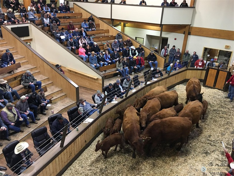 2018 Sale of Commercial Cows